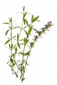 picture of hyssop  - Hyssop  - JPG