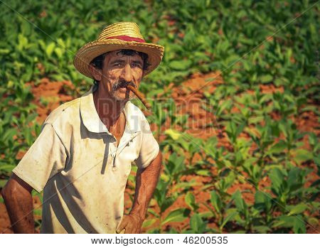 Farmer On His Tobacco Field