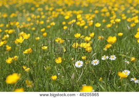 Marsh Marigold And Daisy