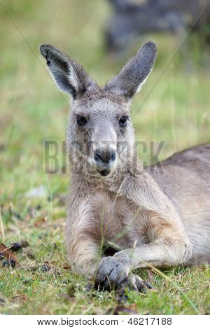 Great Grey Kangaroo, Astralia