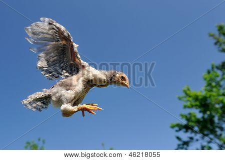 Huhn In den Himmel fliegen