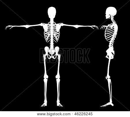 Standing Skeletons