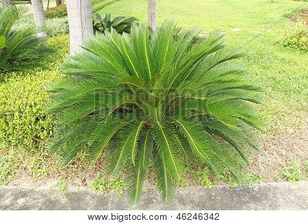 Cycas Revoluta - Sago Palm Tree Decorate In A Garden