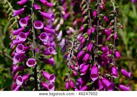 Purple Foxgloves In The Wild