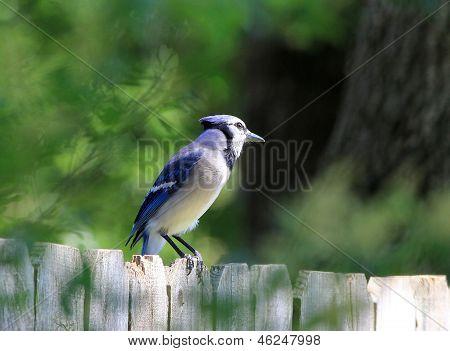 Gaio-azul (cyanocitta Cristata)