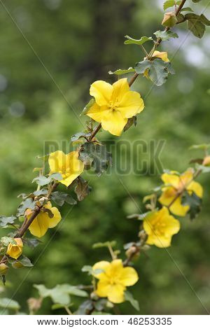California Flannelbush, Fremontodendron Californicum