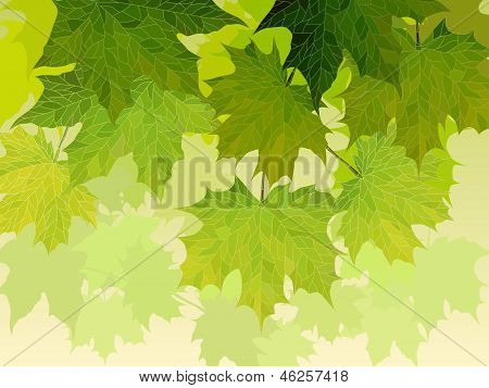 Crown Of Maple Tree With Green Leaves.