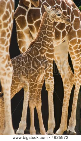 Bebê girafa