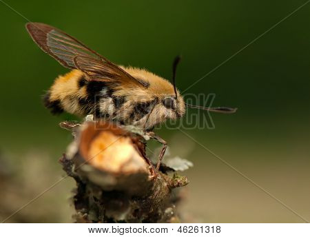 Hemaris Tityus - Bee