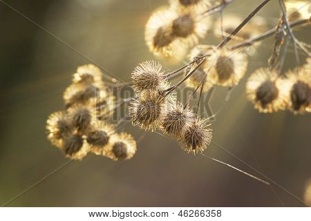 burdock Arctium lappa bur dry noodle web at the dawn of spri