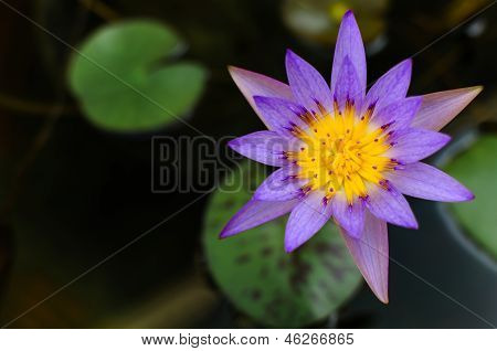 Purple Water-lilly Or Lotus Bloomin Over Black Background