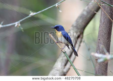 Tickell's Blue Falycatcher Cyornis tickelliae male