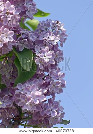 Lilac Branch On A Background Of Blue Sky