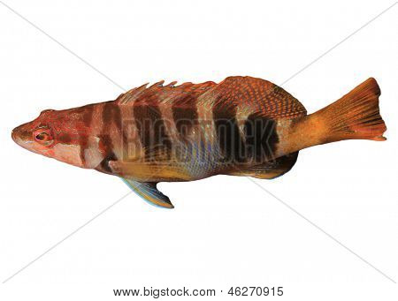 Wrasse Fish isolated on white