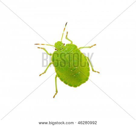 Green shield bug species Palomena prasina on white