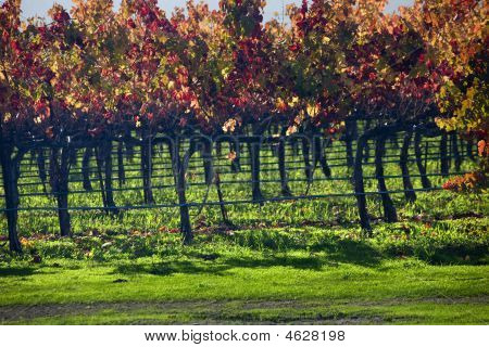 Red Wine Vine Leaves Fall Vineyards Napa California