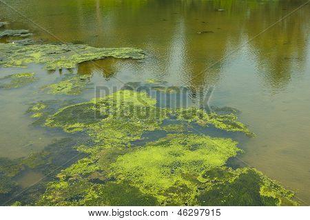 Algae In Pond