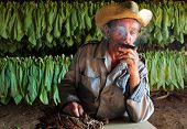 Tobacco Farmer In His Drying Shed With Fresh Tobacco Leaves In B