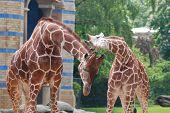 image of terrestrial animal  - The giraffe  - JPG