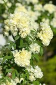 image of climbing roses  - Climbing yellow roses as a natural background - JPG