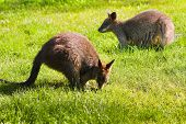 picture of wallabies  - Swamp - JPG