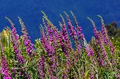 picture of digitalis  - Purple foxgloves digitalis purpurea growing in the wild Westland New Zealand
