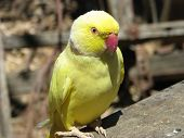 image of ringneck  - this is a yellow ring neck parrot - JPG