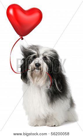 Lover Valentine Havanese Dog