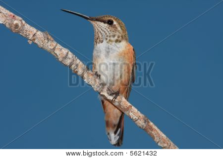 Hummingbird portrait