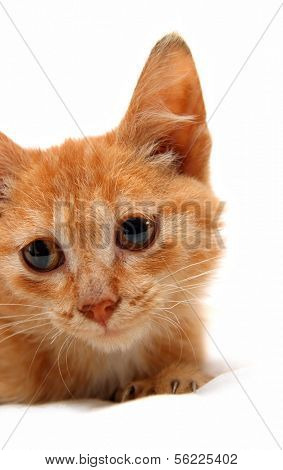 portrait of wretched red small cat isolated on white