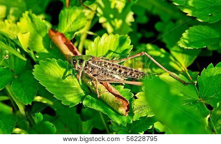Locusts Eat  Green Leaves Of Plants.