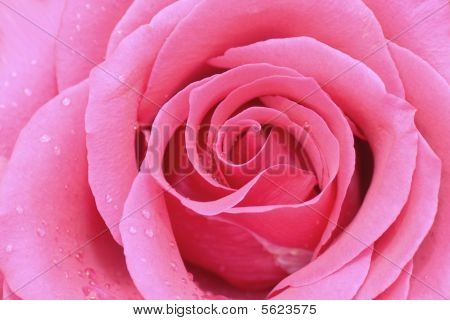 Perfect pink garden rose with dew drops for background texture