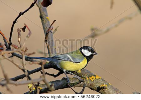 Great Tit Standing On Tree