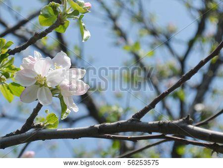 Flowering start of the apple tree