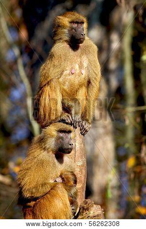 Papio baboons