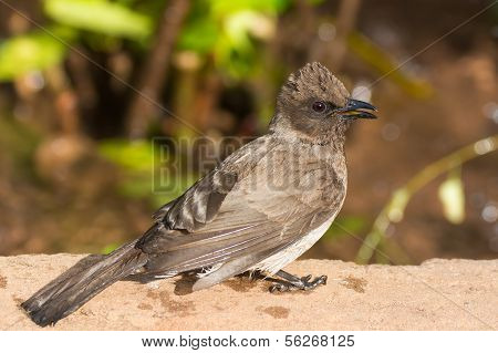 Very Detailed Image Of A Common Bulbul