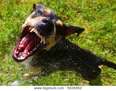 Vicieuze hond