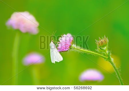 Pieris Brassicae Butterfly On Flower