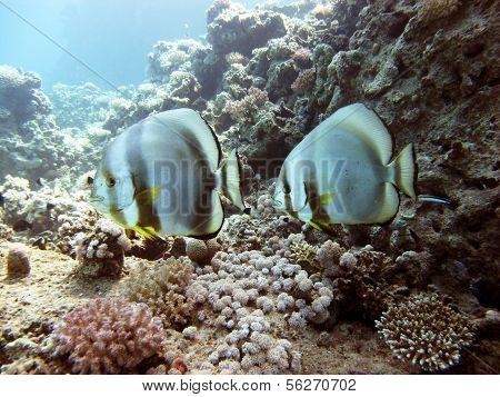 Spadefish couple