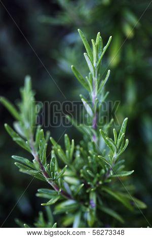 Common Rosemary