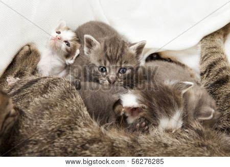 Cats Babies Suckled