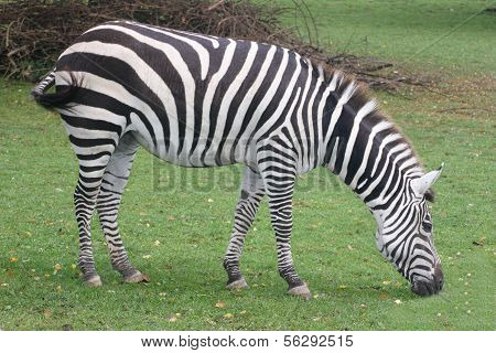 Burchell's zebra (Equus quagga)