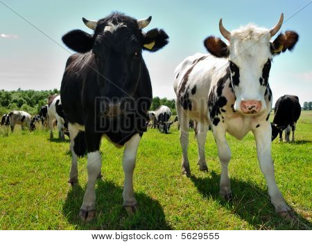 Couple Of Curious Cows On Pasture