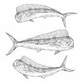 foto of mahi  - Hand drawn illustration of a Dolphinfish - JPG
