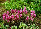 foto of chukotka  - Castillo flowers in the tundra of Chukotka - JPG