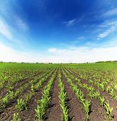 picture of corn  - field with corn  - JPG