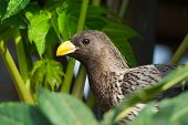 image of plantain  - A Western Grey Plantain-Eater (Crinifer piscator) peeking out through a papaya tree