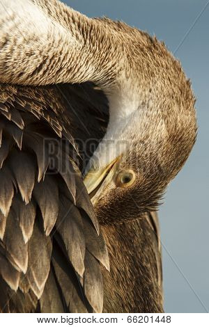 Cormorant bird preens feathers
