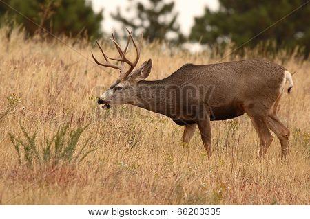 Mule Deer Buck Feeding