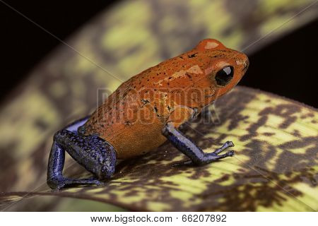 red and blue frog form Costa Rica Dendrobates pumilio Guapiles (blue jeans)